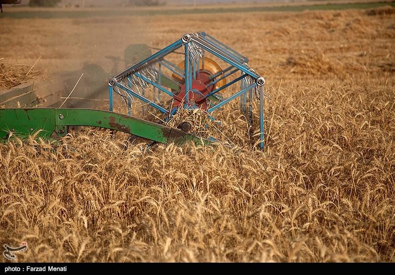 163 هزار تن گندم از مزارع بوشهر برداشت شد