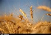 5 میلیون و 840 هزار هکتار از اراضی کشور به کشت گندم اختصاص یافت