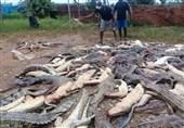 سلاخی ۳۰۰ تمساح برای انتقام