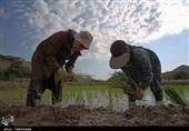 """دوگانه """"ممنوعیت"""" یا """"عدم ممنوعیت"""" کاشت برنج در شالیزارهای خراسانشمالی"""