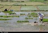 بیش از 80 درصد کشت برنج فارس کشت دوم است