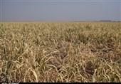 ایران 120 هزار تن شکر خام وارد می کند