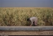 10 هزار هکتار از مزارع نیشکر خوزستان دچار آبگرفتگی شد