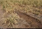 93 درصد مساحت چهارمحال و بختیاری تحت تاثیر خشکسالی قرار گرفت