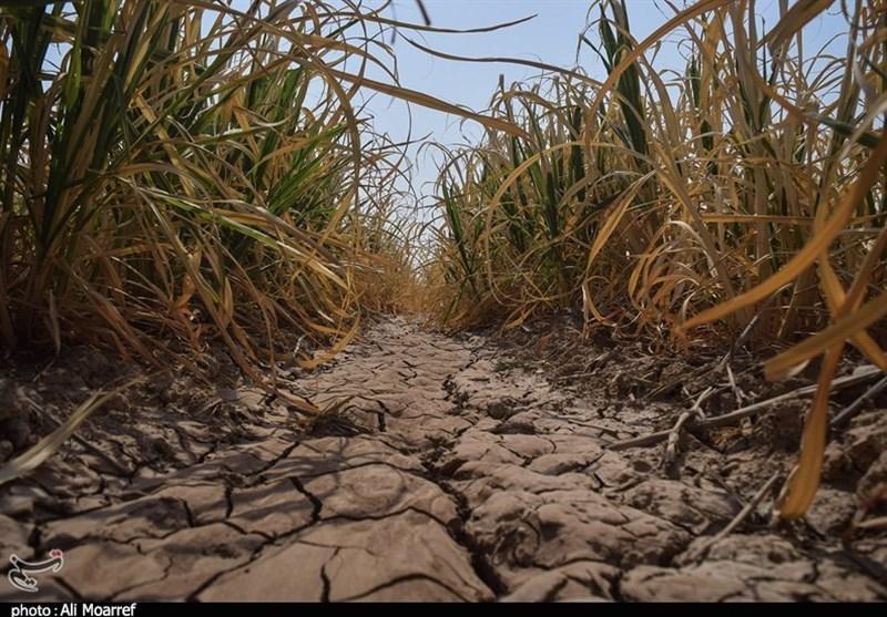 خوزستان  خشک شدن زمینهای نیشکر سبب تعدیل 300 نیروی کار میشود