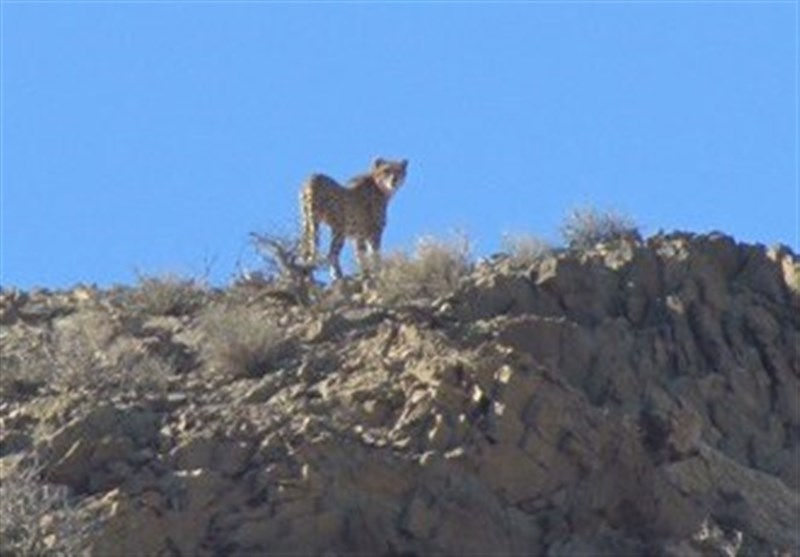 عضو فراکسیون محیط زیست مجلس: یوز و پلنگ ایرانی در معرض تهدید قرار دارد