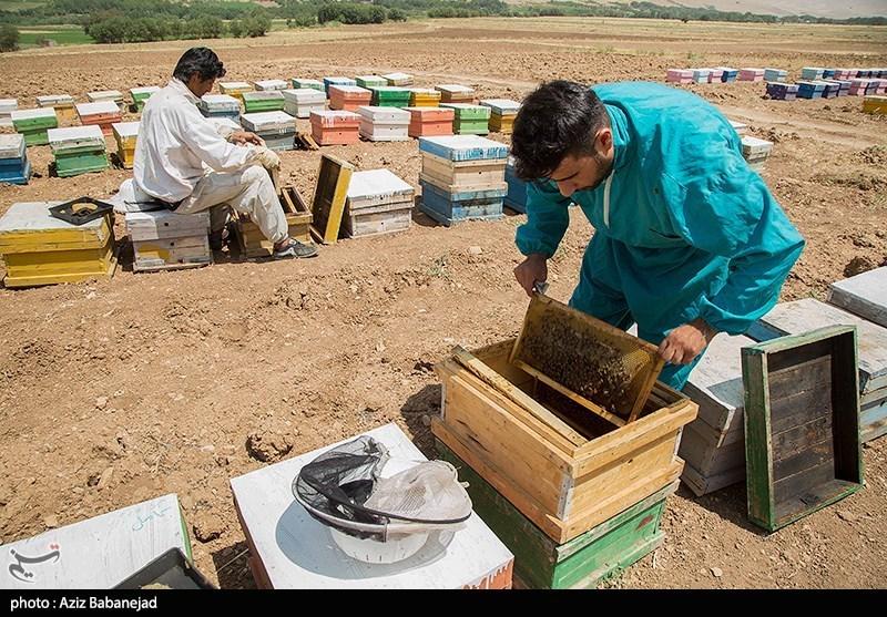 لرستان| از نیش تا نوش؛ روایتی از جوان کارآفرینی که از 10 کندوی عسل به 600 کندو رسید+ عکس و فیلم