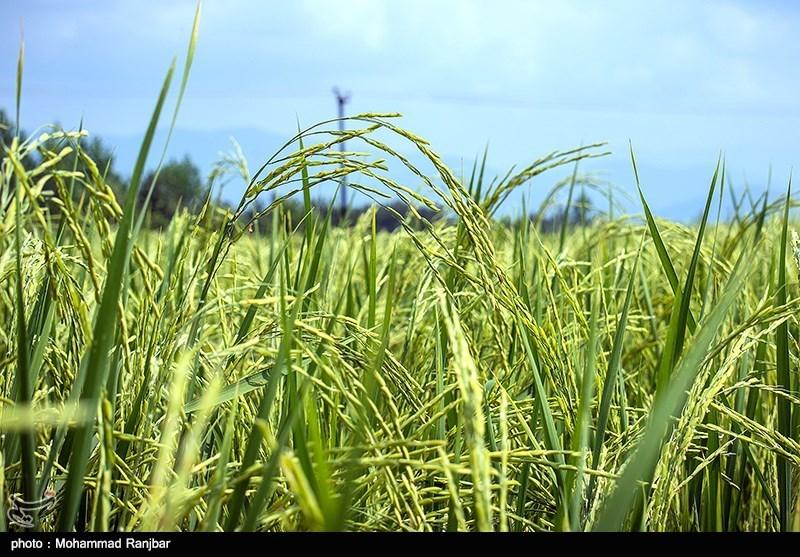 مشکل کمبود آب زراعی شالیزارهای گیلان رفع میشود
