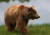 گیلان| حمله خرس به روستایی در فومن تکذیب شد