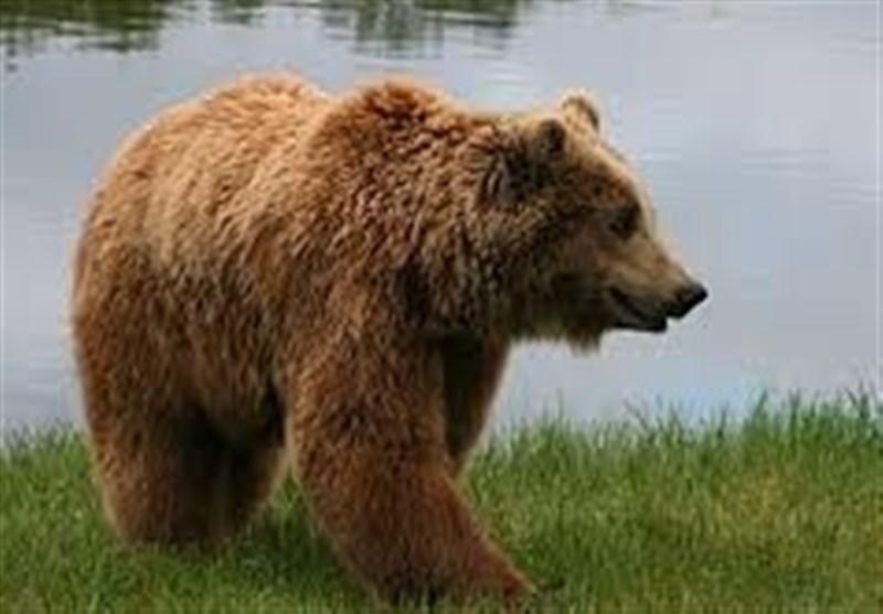 چهار محال و بختیاری| تخریب باغات شهرستان بروجن براثر حمله خرس + فیلم
