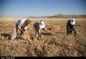 7500 هکتار از اراضی استان اصفهان زیر کشت گیاهان دارویی است