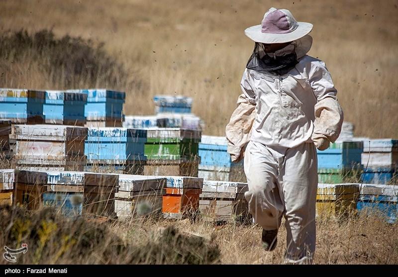 ملکه زنبور عسل ایران جهش تولید می خواهد