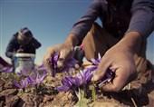 افشای یک پروژه خطرناک/گیاهشناسان اسرائیلِ 70 ساله، 100 سال پیش در ایران چه می کردند؟