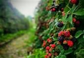 رونق میوههای ریزدانه در مازندران/تولید سالانه 200 هزار تن میوههای ریز در شمال