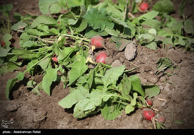 مصوبه انهدام کشت سبزیهای آلوده در نهاوند بلاتکلیف مانده است