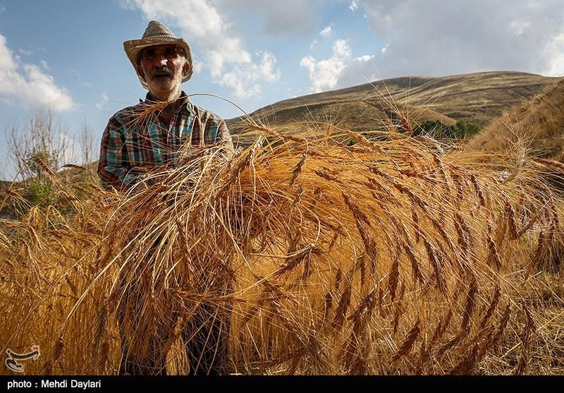 گندمکاران استان فارس 25 میلیارد تومان مطالبه از دولت دارند