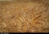 افزایش نرخ دلار باعث خروج 6 هزار تن گندم از کشور شد