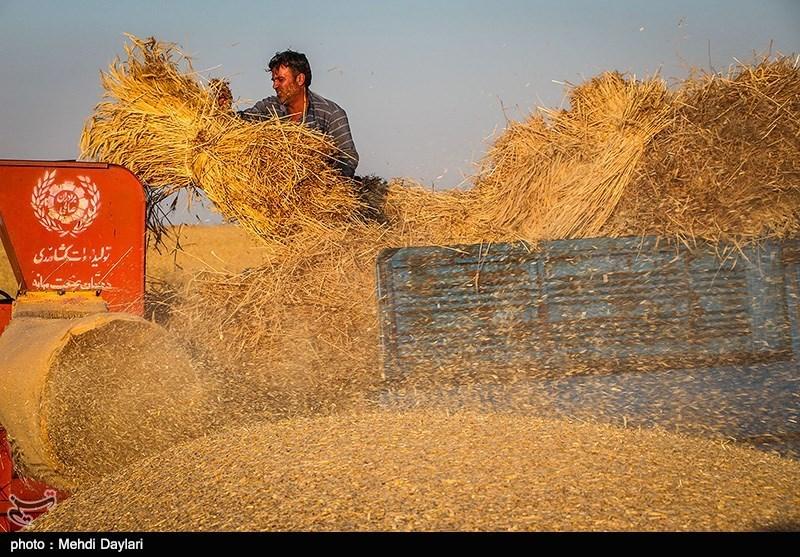 امسال افزایش خرید گندم از کشاورزان همدانی رکورد زد