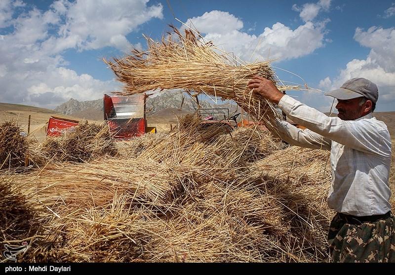 رکورد تولید گندم در استان زنجان شکسته شد