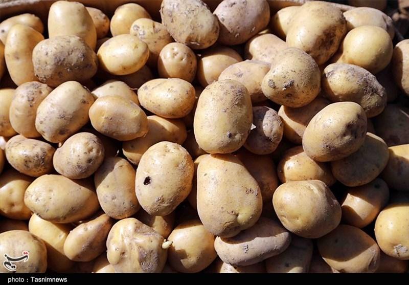 گیلان| تولید غده عاری از ویروس سیبزمینی در پژوهشکده بیوتکنولوژی کشاورزی