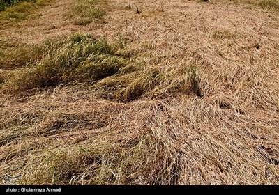 با کاهش بارندگی و هم چنین عدم تخصیص حق آب از سوی مدیریت منابع آبی استان با دلیل کاهش ذخیره سد ،هزار هکتار از زمین های کشاورزی بصورت بایر و 250 هکتار شالیزار نیز خشک شده است