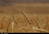 هشدار به وزیر جهاد کشاورزی درباره پیش خرید گندم از کشاورزان