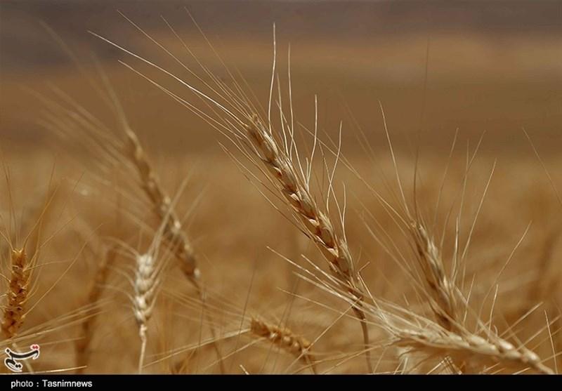 کرج| ارقام بذر گندم و جو به طور صددرصد در داخل کشور تولید میشود