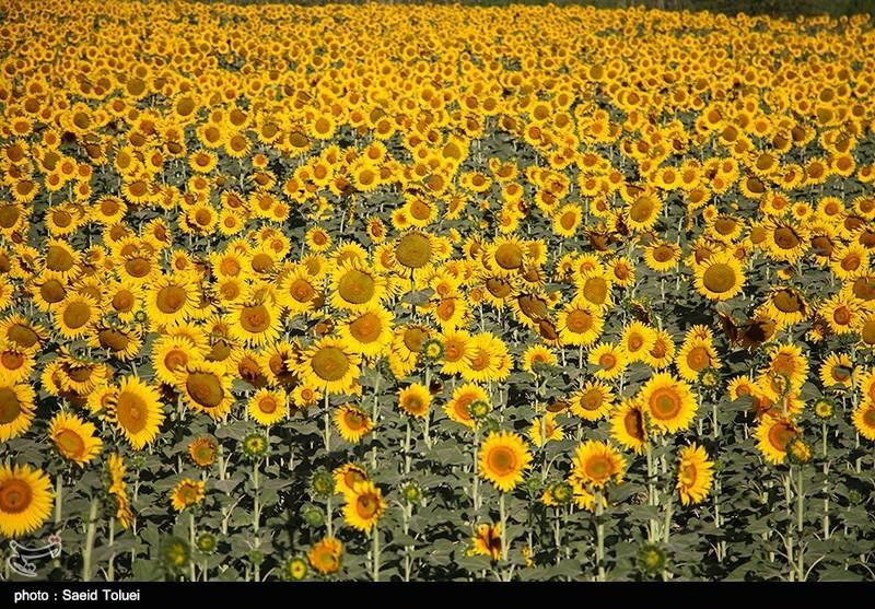 مزرعه آفتابگردان - خراسان شمالی
