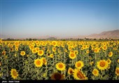 بیش از 9000 تن آفتابگردان در استان کرمانشاه تولید میشود