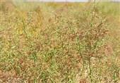 600 هکتار از اراضی سربیشه زیرکشت خارشتر است