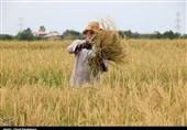 14هزار تن برنج در شهرستان دورود تولید شد