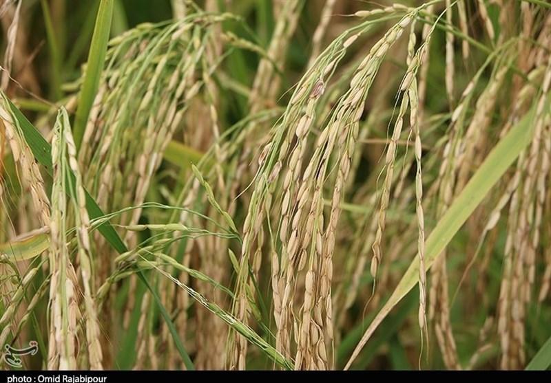 آغاز برداشت برنج در گیلان؛ 68 درصد محصول امسال مکانیزه برداشت میشود
