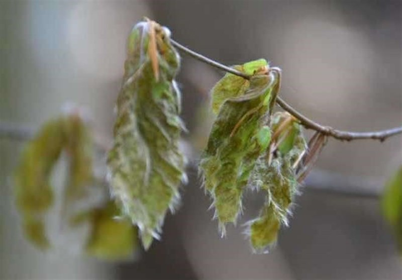 Risk of Frost Damage to Trees Increased Due To Global Warming