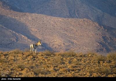 Endangered Persian Onager (Zebra)