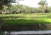 شالیکاران نسبت به برداشت محصول برنج خود تا فردا اقدام کنند