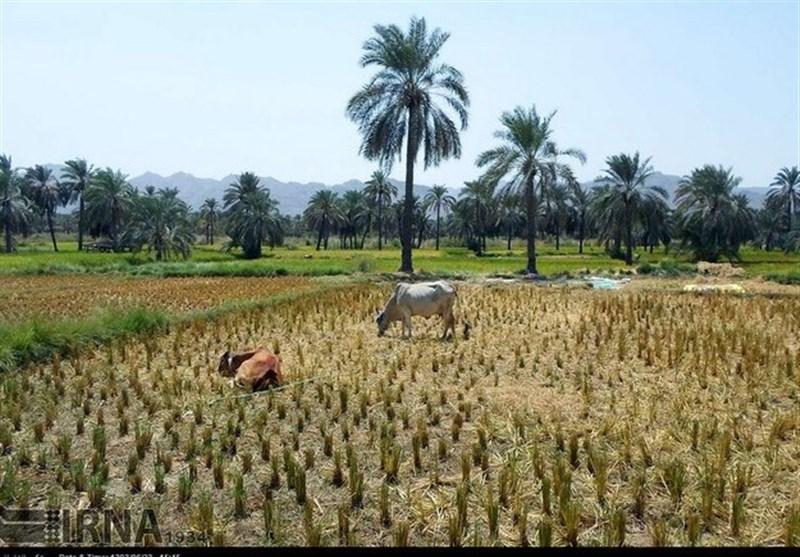 """کشت برنج در کنار نخلستانهای بلوچستان """"با چاشنی کمآبی""""+ تصاویر"""