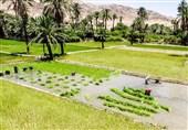 کشت برنج خسارت کشاورزان خوزستان از سیل را تا حدودی جبران کرد