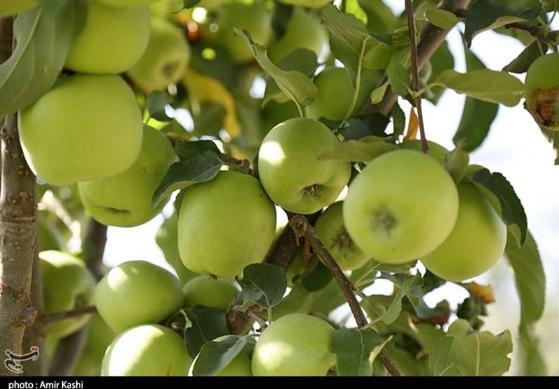 700 هزار تن سیب برای شب عید ذخیره شد
