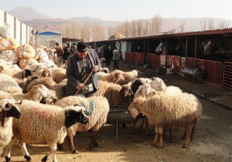 آذربایجان شرقی| مبادی قاچاق دام زنده از اهر به کشورهای همسایه بسته شود