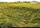 خسارت 500 میلیونی باران به اراضی شالیکاری رشت / 25 درصد شالیزارها آسیب دیدند