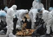 زنگ خطر شیوع آنفلونزای فوق حاد پرندگان به صدا درآمد/ نگرانیهای کرونا و آنفلونزا در حال سبقتگیری است