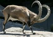 گلگت؛ مارخور کے شکار کے لیے خصوصی تقریب، شکارکا اجازت نامہ 99 لاکھ 63 ہزار روپے میں فروخت