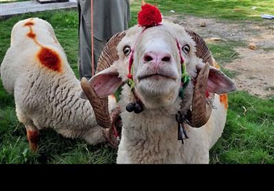 مویشی منڈیاں اور حیرت انگیز جانور