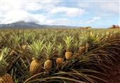 نخستین میوه آناناس کشور در چابهاربرداشت شد