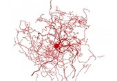 Mysterious New Type of Human Brain Cell Discovered