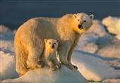 خطر انقراض خرسهای قطبی در سایه گرمایش زمین