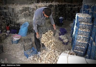 جشنواره ملی سیر سولان همدان