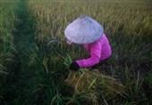 ملیون طن من الأرز الفیتنامی إلى مصر