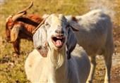 بکرے اور بکریاں انسانی مسکراہٹ سے متاثر ہوتے ہیں: تحقیق