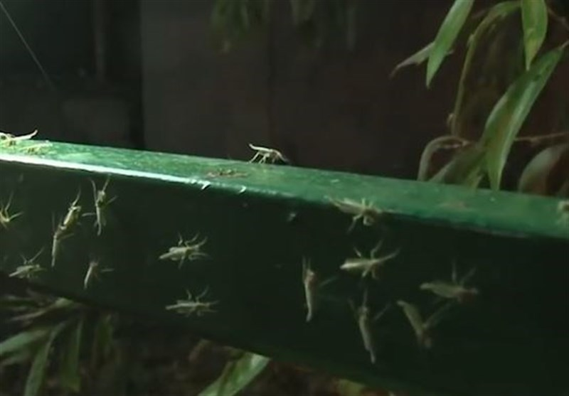 Mosquitoes Take over Russian City (+Video)
